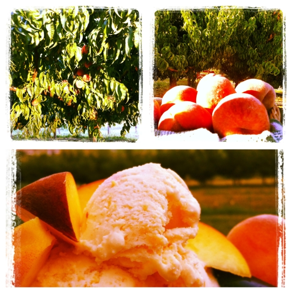 Peaches - from the tree to ice cream!
