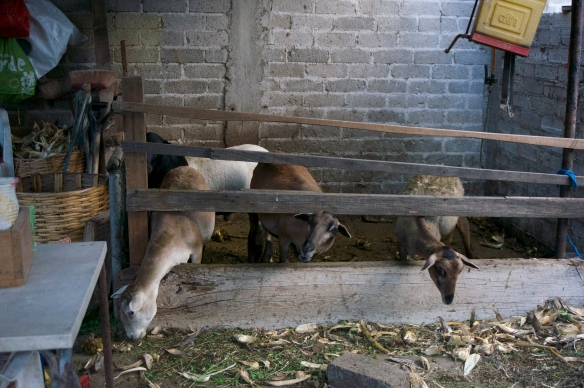 Raising goats and sheep in a very small space.  Certainly they wouldn't be able to raise cattle ….