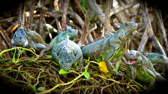 Iguanas everywhere … we were actually way to close to them for my comfort.