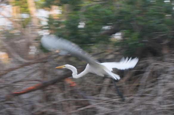 I think this one is called a Royal Egret ...